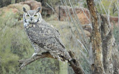 The Owls of Yavapai County