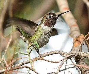 Hummingbird Happenings