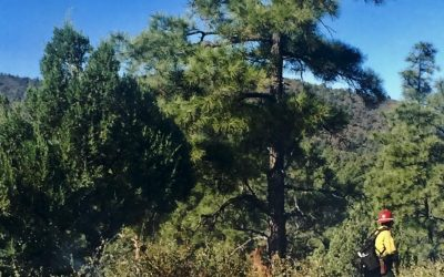 Fire and the Ponderosa Pine