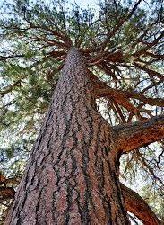 Pondering the Ponderosa Pine