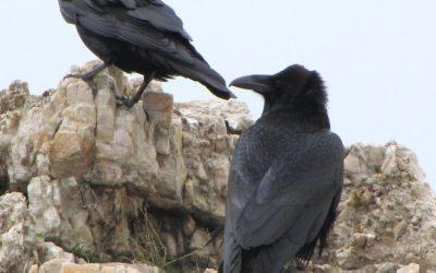 Raven Ramblings