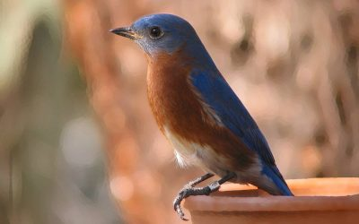 Bluebirds: A Conservation Story