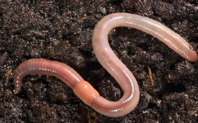 Earthworms Improve Our Soils