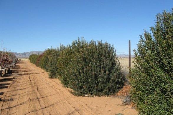 Arizona Rosewood